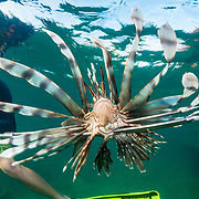 An invasive Lionfish (Pterois volitans) is speared as part of an effort to help coral reefs adapt to this new predator. Image made off Abaco, Bahamas.
