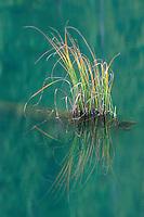 Grass in Red Lake, Cheile Bicazului-Hasmas National Park, Carpathians, Transylvania, Romania,
