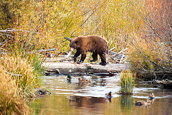 """""""Black Bear at Taylor Creek 1"""" - This brown colored black bear was photographed with a Kokanee Salmon in it's mouth at Taylor Creek in South Lake Tahoe."""
