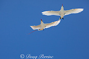 red-tailed tropicbird, or red tailed tropic bird, Phaethon rubricauda rothschildi, pair in courtship flight, dance, or display, Sand Island, Midway, Atoll, Midway Atoll National Wildlife Refuge, Papahanaumokuakea Marine National Monument, Northwest Hawaiian Islands, USA ( Central North Pacific Ocean )