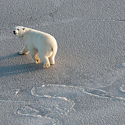One of the target polar bears that was never captured runs across newly formed ice in the Arctic Ocean.