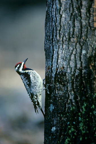 Yellow-bellied Sapsucker (Sphyrapicus varius) drilling holes in a maple tree.