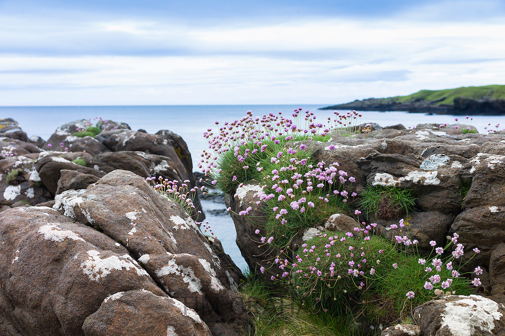Coastal wildflowers, Sea Thrift or Sea Pink - Armeria maritima - on rock boulders at Brothers' Point, Isle of Skye, Western Isles of Scotland, UK