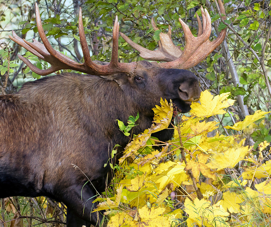 Alaska; Large bull moose (Alces alces) snacking on leaves of autumn foilage, Kincaid Park, Anchorage.