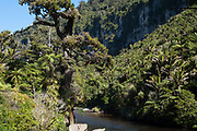 The forest in the Pororari River Gorge, Westcoast New Zealand, features some of the findest coastal Nikau stands.