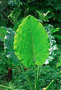 Taro Plant<br />