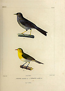 hand coloured sketch Top: slender-billed finch (Xenospingus concolor [Here as Sylvia concolor]) Bottom: orange-headed tanager (Thlypopsis sordida [Here as Nemosia sordida]) From the book 'Voyage dans l'Amérique Méridionale' [Journey to South America: (Brazil, the eastern republic of Uruguay, the Argentine Republic, Patagonia, the republic of Chile, the republic of Bolivia, the republic of Peru), executed during the years 1826 - 1833] 4th volume Part 3 By: Orbigny, Alcide Dessalines d', d'Orbigny, 1802-1857; Montagne, Jean François Camille, 1784-1866; Martius, Karl Friedrich Philipp von, 1794-1868 Published Paris :Chez Pitois-Levrault et c.e ... ;1835-1847