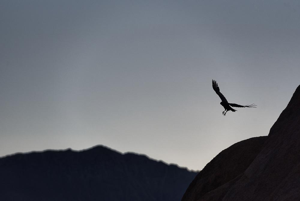 A raven takes flight in California's Alabama Hills near Lone Pine.