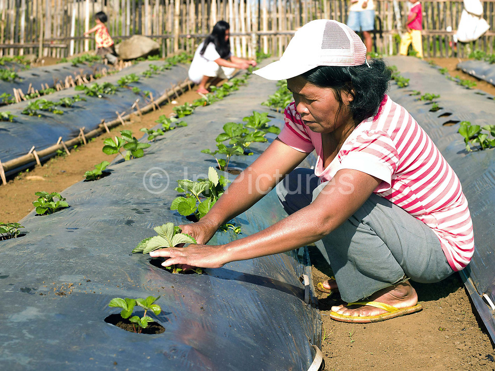 "Melba Barawid, a member of the ""Women's Rural Improvement' group takes care of the strawberry plants on communal land in Sitio Matinao, Alamada, Cotabato province, Mindanao Island, The Philippines. Women in the group make use of a small piece of land which they use to grow new vegetables and crops before trying them at home in their own gardens. 