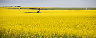 © 2008 Randy Vanderveen, all rights reserved.Grande Prairie, Alberta.A pump jack is surrounded by blooming canola in a field north of Grande Prairie. Canola and other farm crops are becoming a commodity in the energy sector as alternatives, like biofuels, are being sought.