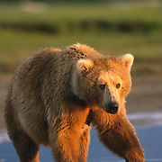 An older Alaskan brown bear (Ursus middendorffi) cub standing in the tidal flats of Katmai National Park, Alaska.