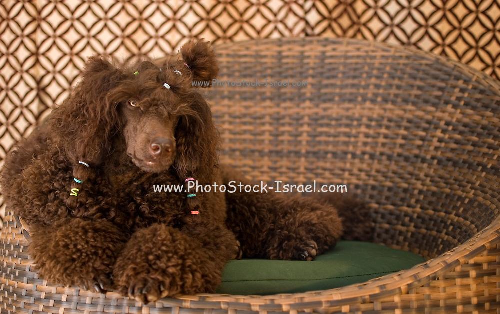 Pedigree Dog - brown miniature poodle with hair braids sits in basket
