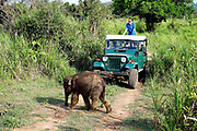 A baby elephant crosses the track in front of tourist on safari at Hirulu Ecopark on 10 April 2016 in Dambulla, Sri Lanka.