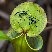 I spotted this very attractive species of ants with their silky appearance and stylish body armour when I was photographing some pitcher plants in the Sabangau Forest, Central Kalimantan, Indonesia. Ants are always so intriguing to watch but so difficult to photograph because they are always on the move unless they pause momentarily to exchange information via pheromones and their antennae as these two are clearly doing.