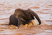 A young elephant bull (Loxodonta africana) playing in the river,  Samburu, Kenya, Africa