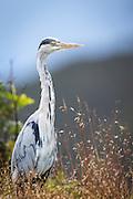 Grey Heron sitting in the grass | Gråhegre sitter i gresset