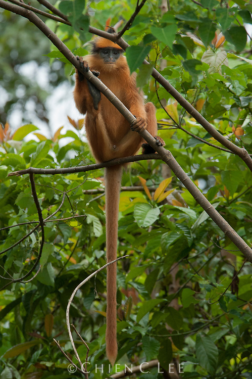 The Mitered Langur (Presbytis melalophos bicolor) is endemic to the island of Sumatra.  Like other leaf monkeys, this species is primarily folivorous, but also consumes flowers and fruits. Kerinci Seblat National Park, West Sumatra, Indonesia.