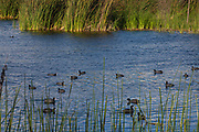 American Coots, Ballona Wetlands, Playa Del Rey, Los Angeles, California, USA