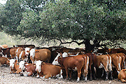 Beef cattle breeding In Israel, Mount Carmel The herd huddle in the shade under a tree