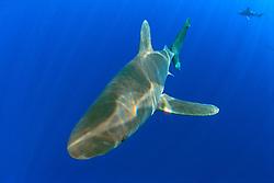 oceanic whitetip sharks, Carcharhinus longimanus, Big Island, Hawaii, Pacific Ocean