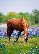 Horse grazing in field with Texas Bluebonnets near Ennis, Ellis County, Texas.