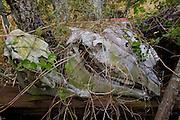 Wild Boar Head, skeleton, The Big Island of Hawaii