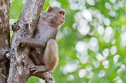 Rhesus macaque (Rhesus mulatta) from Bandhavgarh National Park, India.