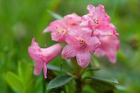 Hairy Alpine Rose; Rhododendron hirsutum, near Malbun, Lichtenstein