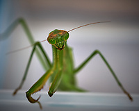 Praying Mantis. Image taken with a Fuji X-T2 camera and 80 mm f/2.8 macro lens (ISO 200, 80 mm, f/5.6, 1/240 sec).