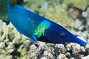 bird wrasse, green bird wrasse, bird-nose wrasse, or <br /> brown bird wrasse, Gomphosus varius, terminal phase male <br /> or supermale, Fathers Islands, off New Britain,<br /> Papua New Guinea ( Bismarck Sea / Western Pacific Ocean )