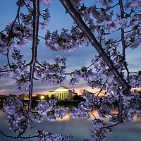 Branches of cherry blossoms frame the view across the Tidal Basin to the Thomas Jefferson Memorial at morning twilight, Washington, DC.
