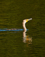 Double-crested Cormorant (Phalacrocorax auritus). Fort De Soto County Park. St. Petersburg, Florida. Image taken with a Nikon D3x camera and 500 mm f/4 VR lens.