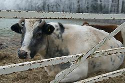 's-Graveland Kortenhoef winter, rijp en sneeuw snow, sneeuw, winter, cold, wit, white