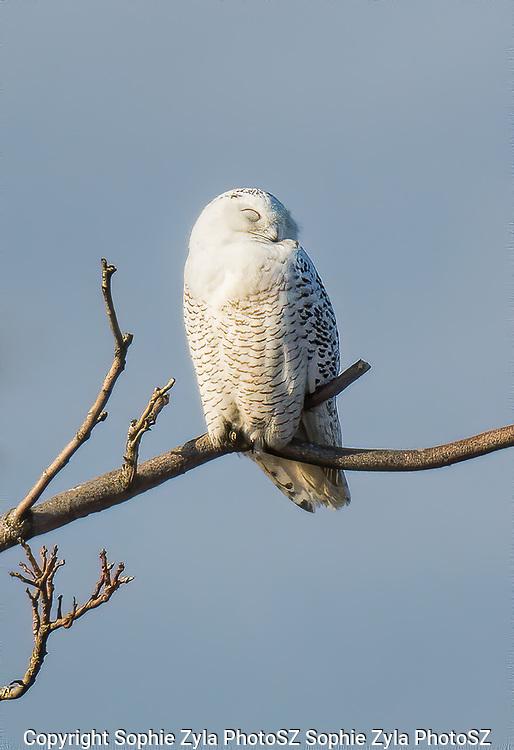 Snowy Owl Peaceful Sleep