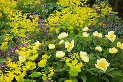 Paeonia mlokosewitschii - often known as Molly the Witch - with Smyrnium perfoliatum and Lunaria annua  (honesty) at Bob Brown's Cotswold Garden Flowers nursery