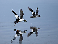 Photo Randy Vanderveen.Near Clairmont, Alberta.A pair of buffleheads are reflected in the water of a slough as they take flight.