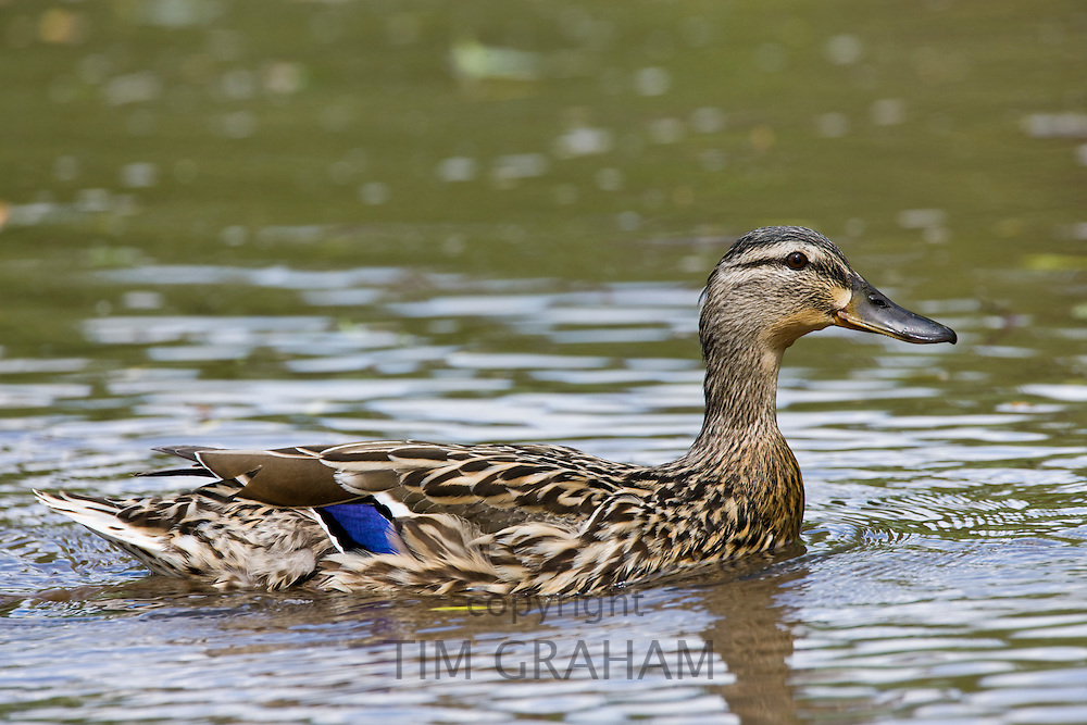 Female mallard duck on a pond in Swinbrook, The Cotswolds, Oxfordshire, UK