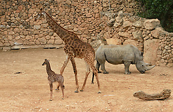 Rotem, a four-week-old female South African giraffe calf, stands near his mother at the Jerusalem Biblical zoo on April 10, 2016. EXPA Pictures © 2016, PhotoCredit: EXPA/ Photoshot/ Gil Cohen Magen<br /> <br /> *****ATTENTION - for AUT, SLO, CRO, SRB, BIH, MAZ, SUI only*****