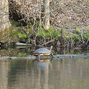 A group of turtles enjoying the sun along the D & R Canal in Hillsborough, NJ