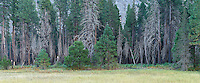 Trees. 48140 x 19979 pixels