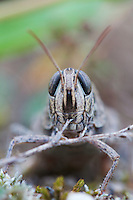 Portrait of a Blue-winged Grasshopper (Oedipoda caerulescens) found on an island in the river Allier. Pont-du-Chateau, France.
