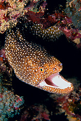 whitemouth moray, Gymnothorax meleagris, Kona, Big Island, Hawaii, Pacific Ocean