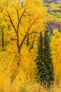 Narrowleaf Cottonwood and firs,<br />Uncompahgre National Forest, Colorado
