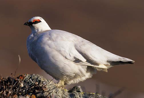 Rock Ptarmigan (Lagopus mutus) in winter white color phase.  Arctic National Wildlife Refuge.