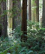 Redwood National Park in CA.