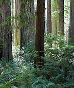 Redwood National Park in CA.