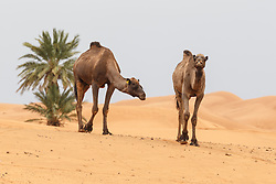 Camels walking across desert, Erg Chebbi, Saharan Desert, Morocco