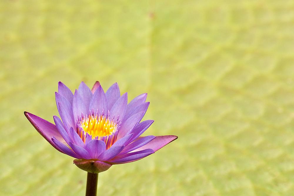 Lavender Waterlily