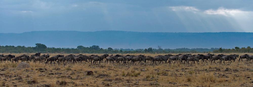 Wildebeest migrates in Maasai Mara, Kenya.