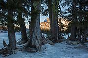 Whitebark pine (Pinus albicaulis) along the rim of Crater Lake in winter. Crater Lake National Park, Oregon.